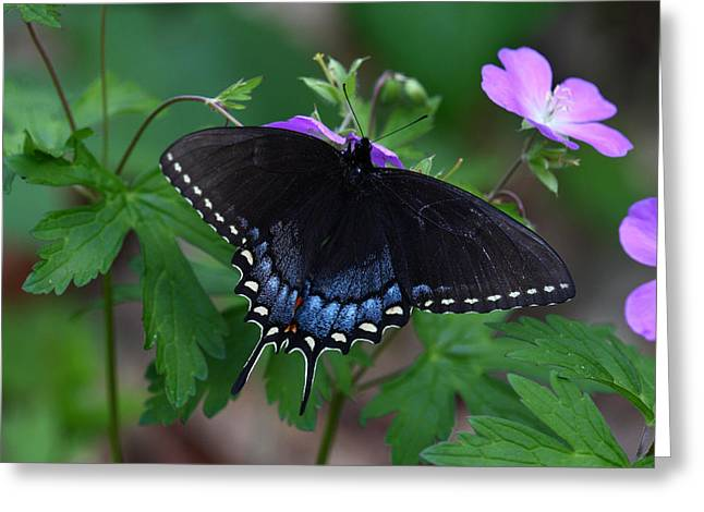 Greeting Card featuring the photograph Tiger Swallowtail Female Dark Form On Wild Geranium by Daniel Reed