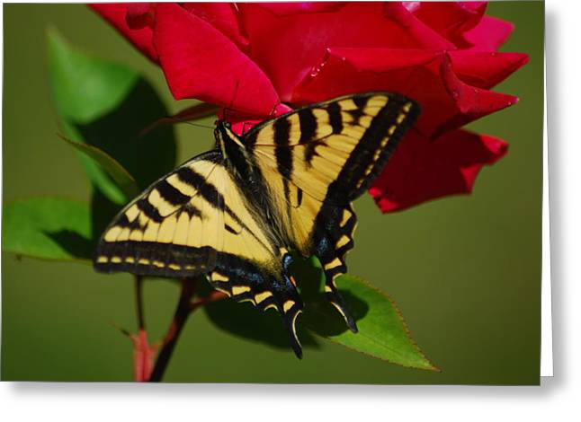 Tiger Swallowtail On A Red Rose Greeting Card