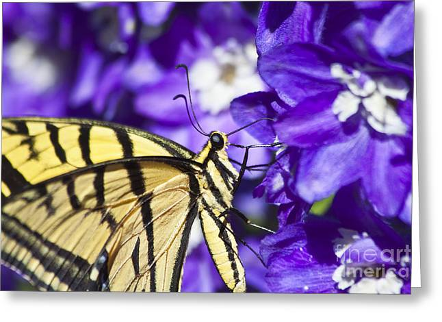 Tiger Swallowtail On Delphiniums Greeting Card