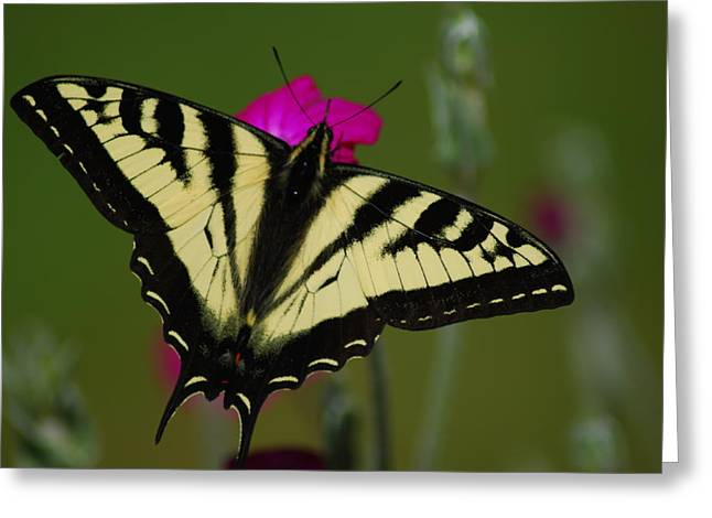 Tiger Swallowtail On Pink Greeting Card