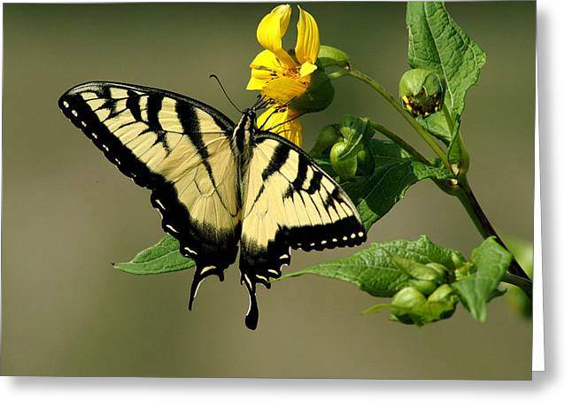 Tiger Swallowtail  Greeting Card by TnBackroadsPhotos