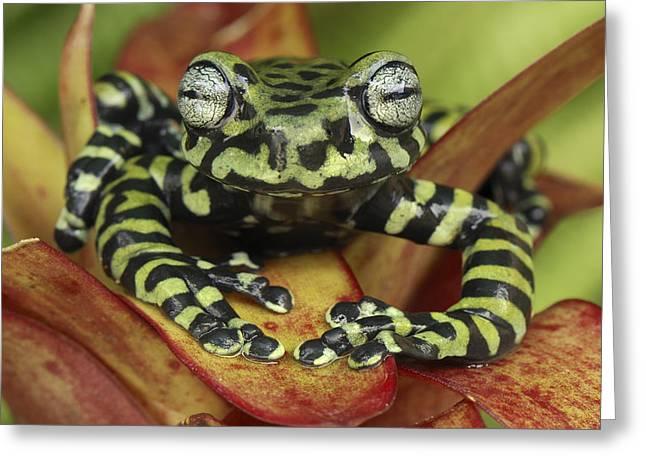 Tigers Treefrog Hyloscirtus Tigrinus Greeting Card by Thomas Marent