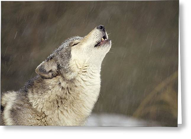 Timber Wolf Canis Lupus Howling Greeting Card by Gerry Ellis