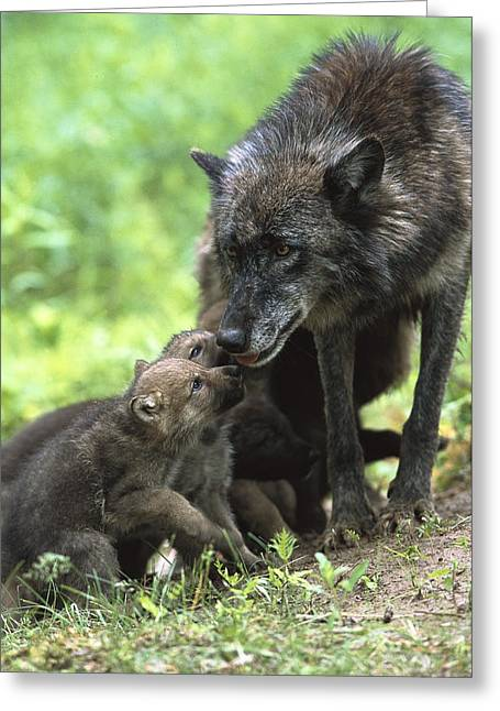 Timber Wolf Canis Lupus Mother Greeting Card by Konrad Wothe