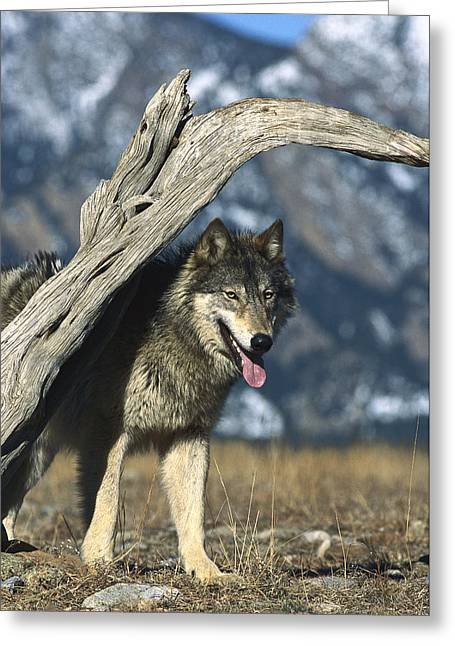 Timber Wolf Canis Lupus Portrait Greeting Card by Konrad Wothe