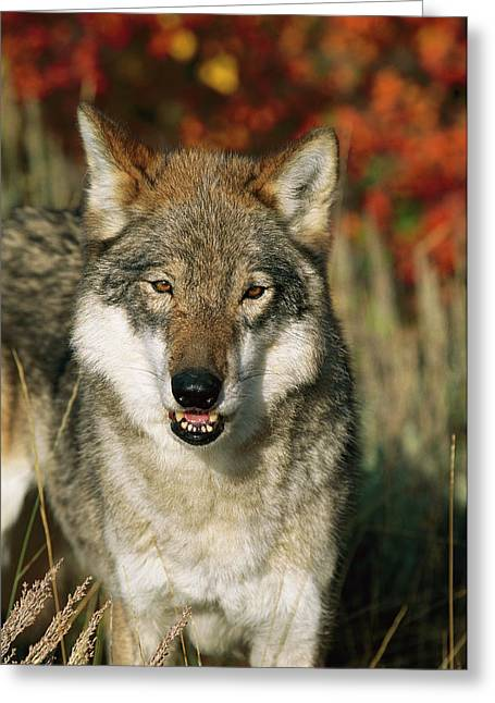 Timber Wolf Canis Lupus Portrait, Teton Greeting Card by Tom Vezo