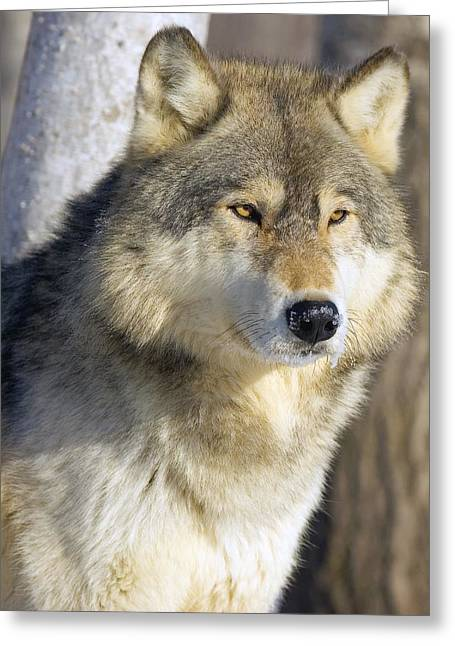 Timber Wolf Greeting Card by John Pitcher