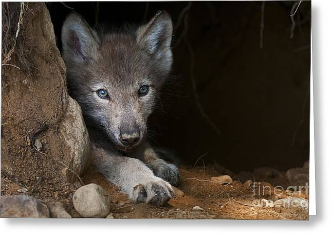 Timber Wolf Pup In Den Greeting Card by Michael Cummings