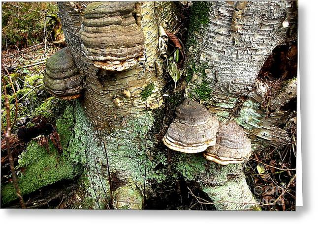 Tinder Polypore Greeting Card