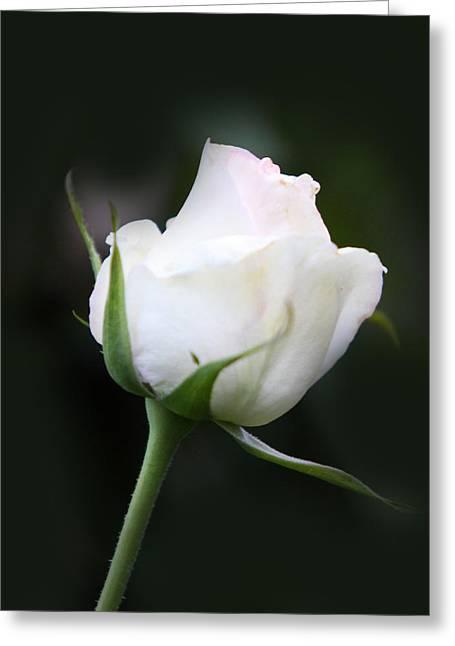 Tinted White Rose Bud Greeting Card by Linda Phelps