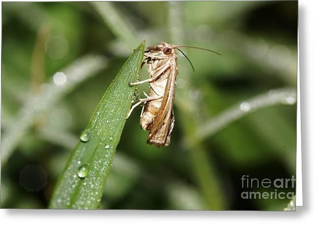 Tiny Moth Greeting Card by Lynda Dawson-Youngclaus
