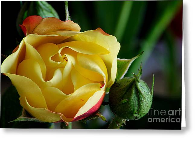 Greeting Card featuring the photograph Tiny Rose by Adrian LaRoque