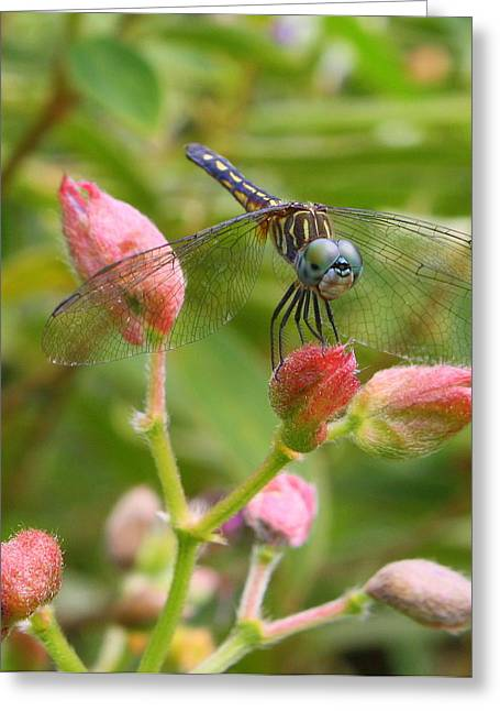 Tiny Too Greeting Card by LC  Linda Scott