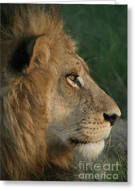 Tired Lion Greeting Card by Carol Wright