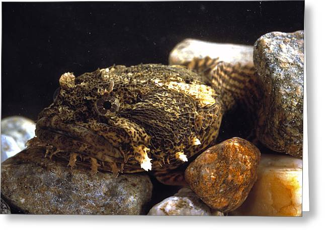 Toadfish Greeting Card by Volker Steger