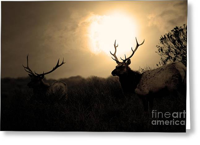 Tomales Bay California Tule Elks At Sunrise . Golden . 7d4402 Greeting Card