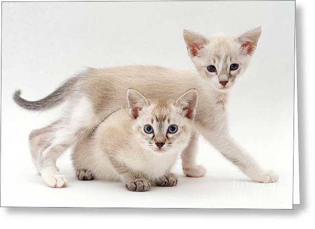 Tonkinese Kittens Greeting Card by Jane Burton