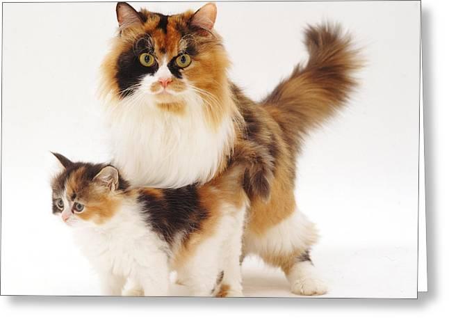 Tortoiseshell Cat And Kitten Greeting Card by Jane Burton