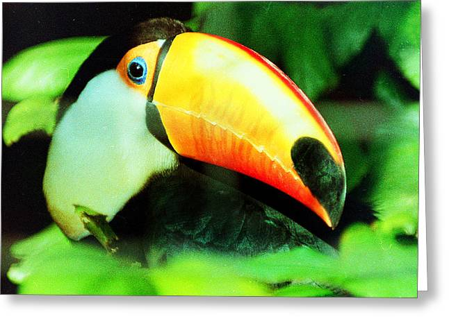 Toucan Greeting Card by Helaine Cummins