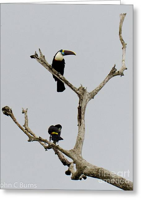 Toucans In The Trees Greeting Card