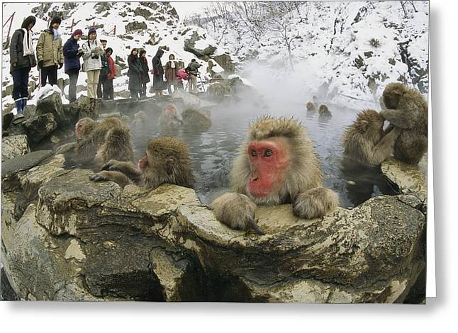 Tourists Watch A Group Of Snow Monkeys Greeting Card