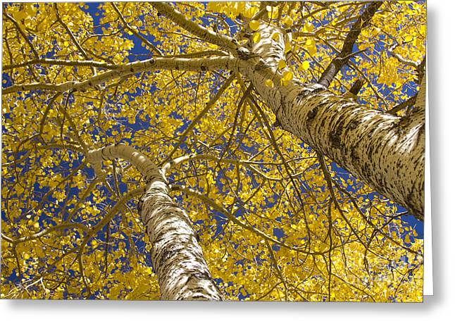 Towering Autumn Aspens With Deep Blue Sky Greeting Card by James BO  Insogna