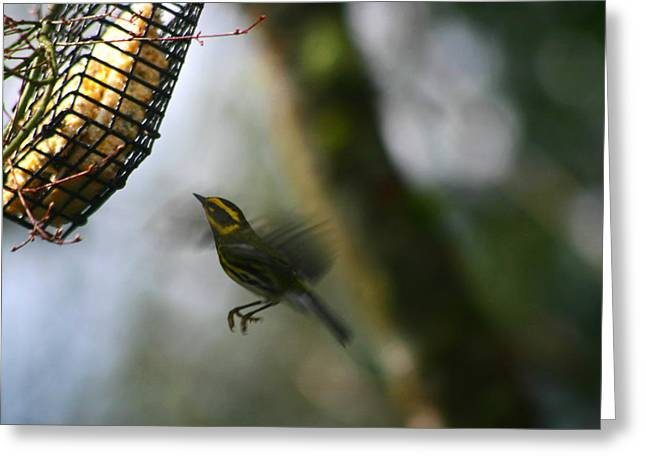 Greeting Card featuring the photograph Townsend Warbler In Flight by Kym Backland