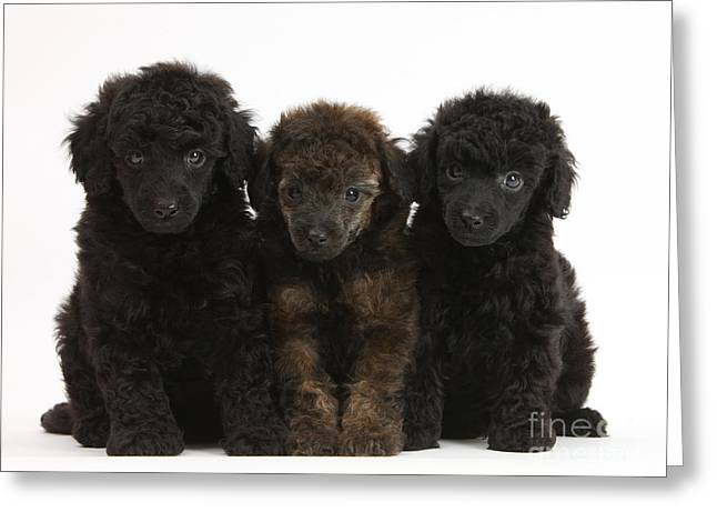 Toy Poodle Pups Greeting Card by Mark Taylor