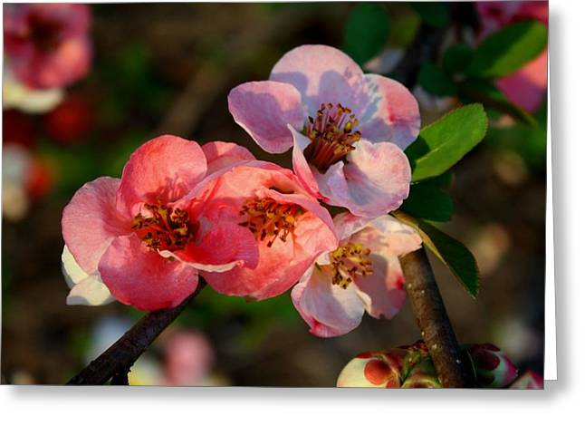 Greeting Card featuring the photograph Toyo Nishiki Quince by Kathryn Meyer