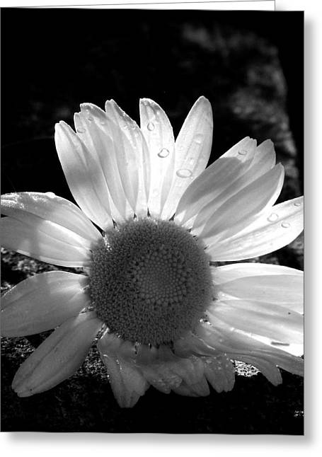 Greeting Card featuring the photograph Translucent Daisy by Cindy Haggerty