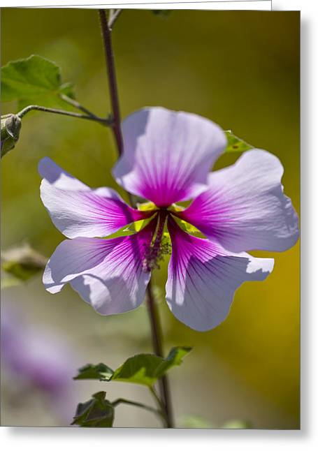 Tree Mallow (lavatera Maritima) Greeting Card by Dr Keith Wheeler