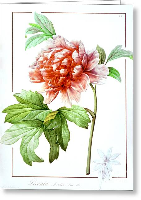 Tree Peony Greeting Card by Granger