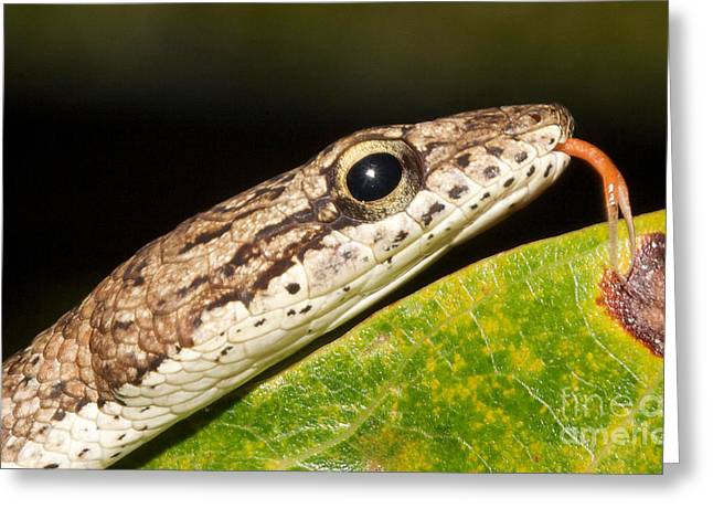 Tree Snake  Greeting Card by Gary Bridger