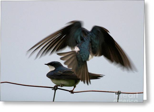Tree Swallows Courtship Greeting Card