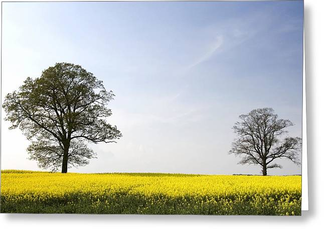 Trees In A Rapeseed Field, Yorkshire Greeting Card by John Short