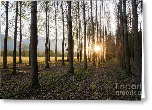 Trees In Alee With Low Sun Greeting Card