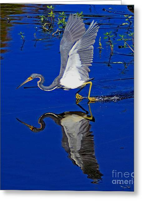 Greeting Card featuring the photograph Tri-color Heron Water Ski by Larry Nieland
