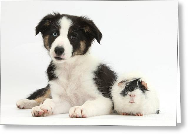 Tricolor Border Collie Pup And Guinea Greeting Card by Mark Taylor