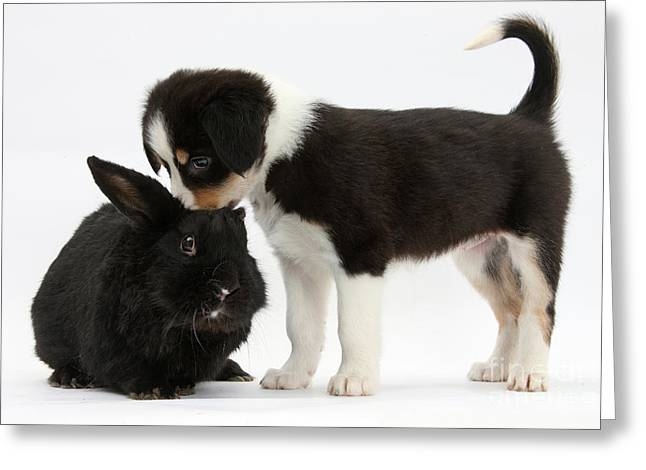 Tricolor Border Collie Pup With Black Greeting Card by Mark Taylor