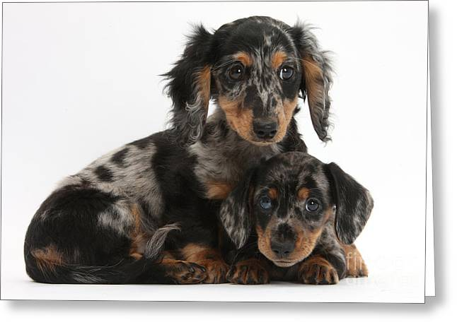 Tricolor Dachshund Puppies Greeting Card by Mark Taylor