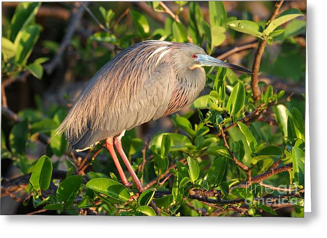 Tricolor Heron Greeting Card