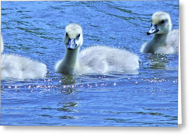 Trio Of Baby Geese Greeting Card by Becky Lodes