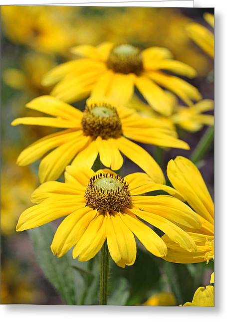 Trio Of Yellow Flowers Greeting Card by Becky Lodes