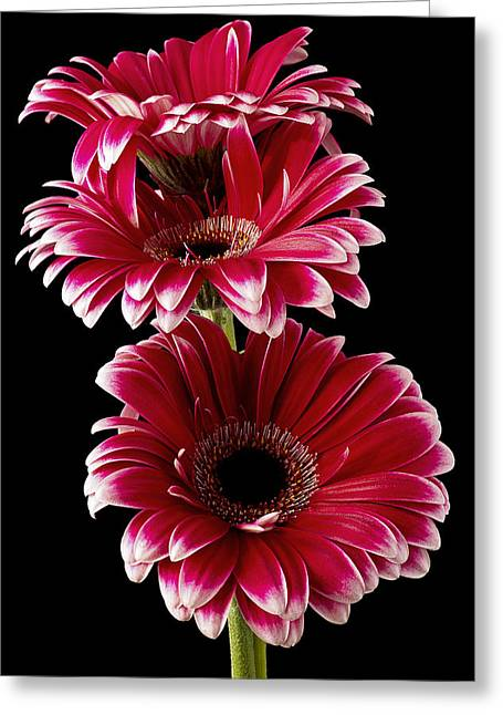 Triple Red Beauty Greeting Card by Fiona Messenger