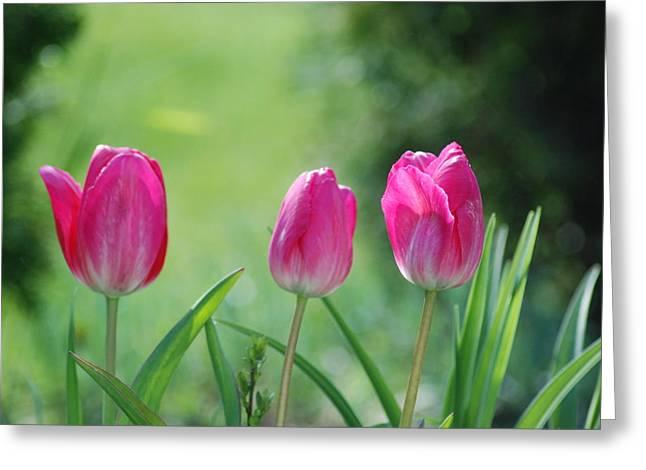 Triple Tulips Greeting Card