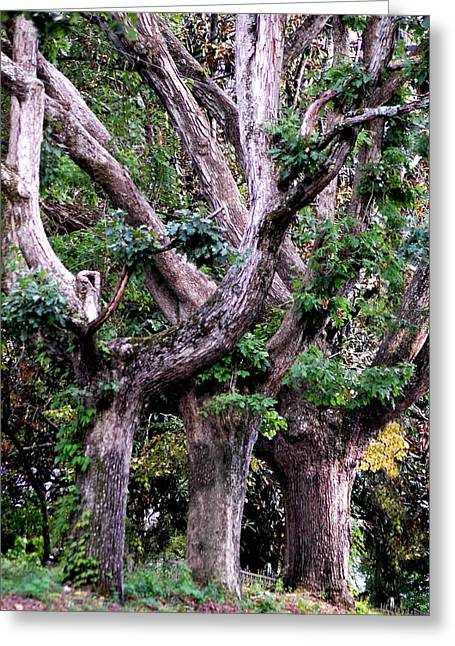 Triplet Trees Greeting Card by Beverly Hammond