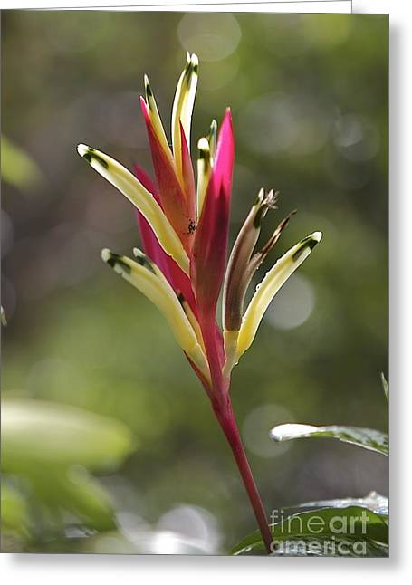 Tropical Beauty  Greeting Card by Gary Bridger