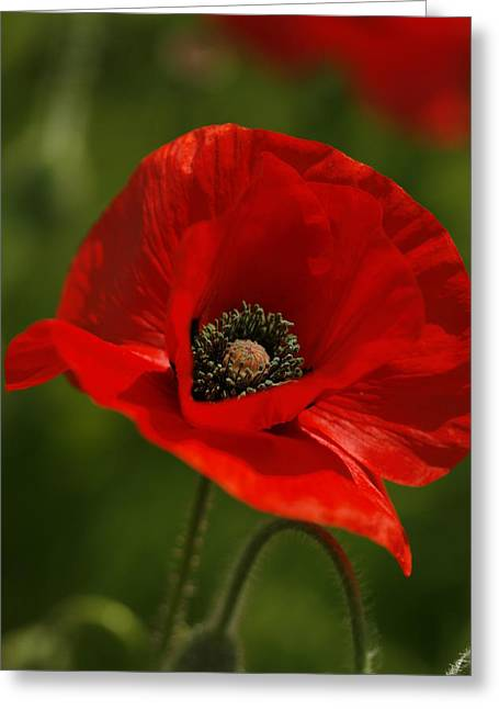 Truly Red Oriental Poppy Wildflower Greeting Card by Kathy Clark