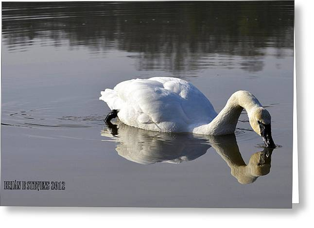 Greeting Card featuring the photograph Trumpeter Swan by Brian Stevens