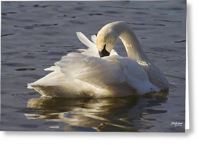 Trumpeter Swan Preening Greeting Card